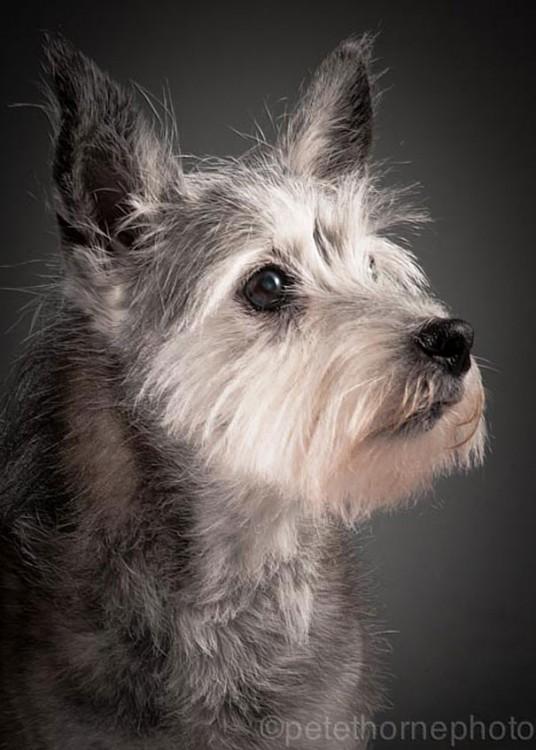 perro anciano de perfil de raza schnauzer