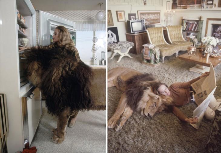 leon dormido en la sala de una casa