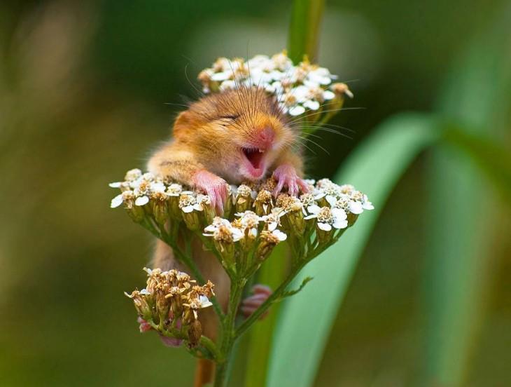 ratón que ríe en flores
