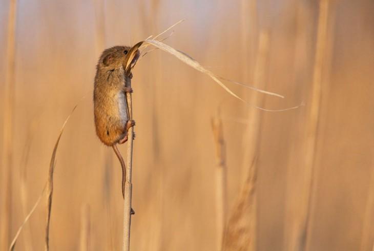 ratón en trigo