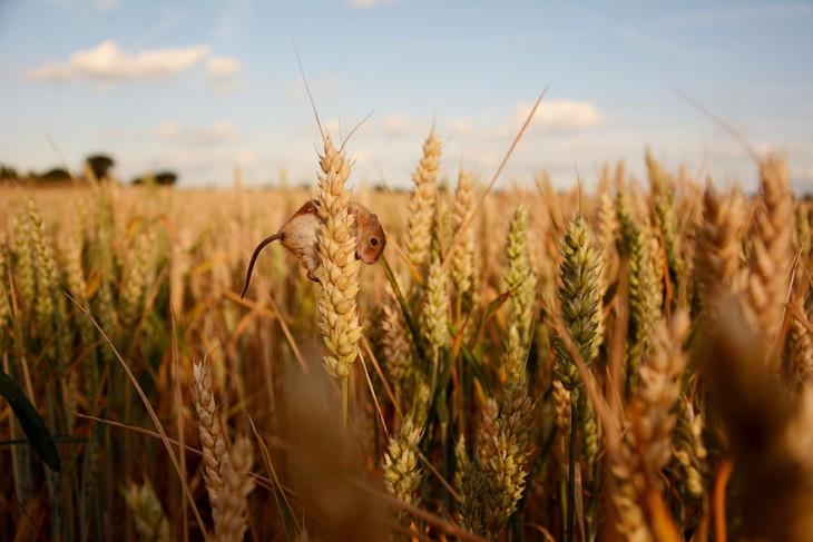 ratón en campo de trigo