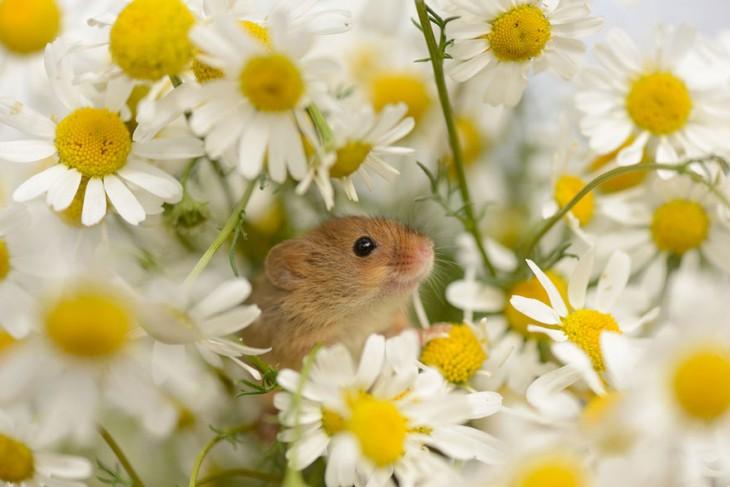 ratón entre margaritas
