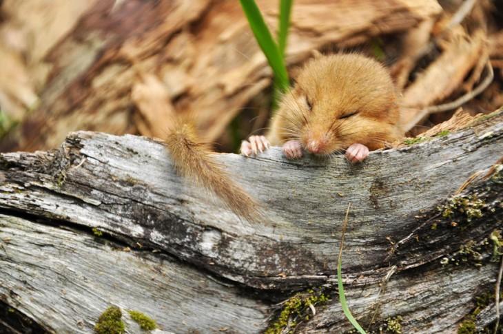 ratón en un tronco