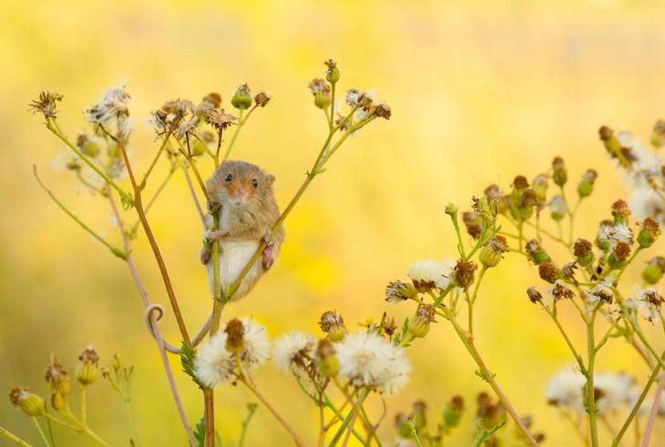 ratón en el campo