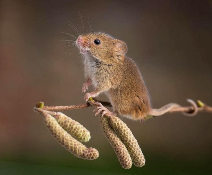 ratón arriba de una espiga de trigo