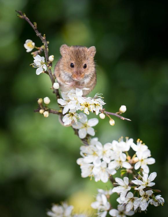 ratón en margaritas