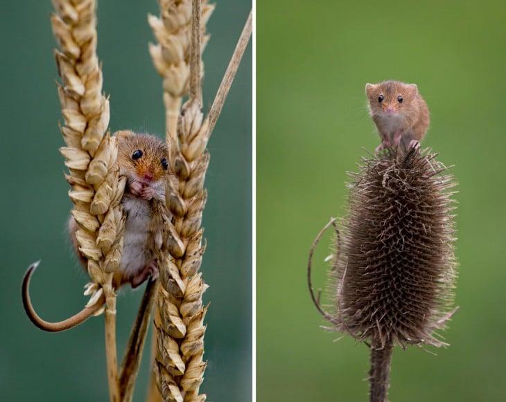 ratón en espiga de trigo