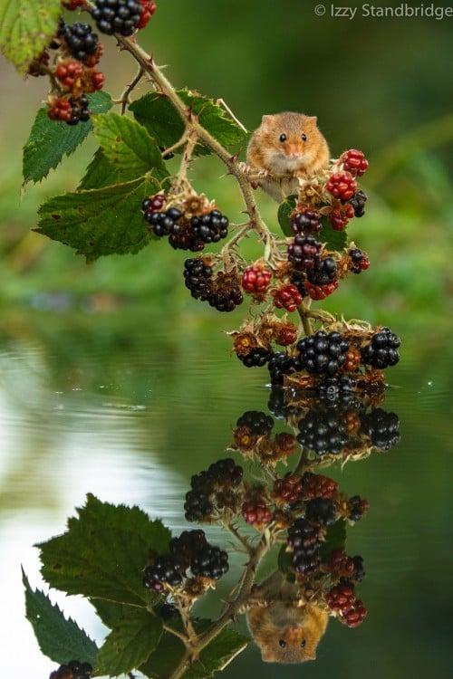 ratón en planta de mora