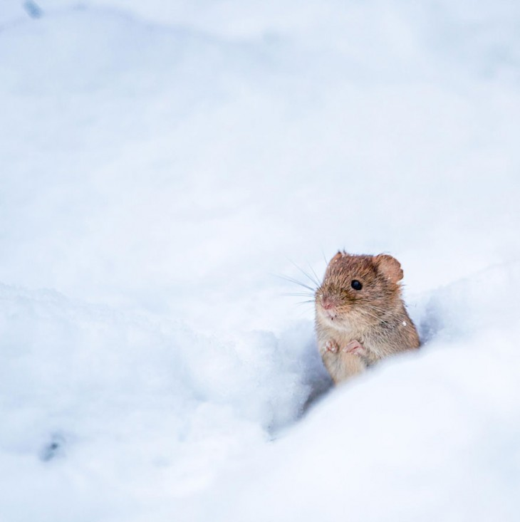 ratón en la nieve