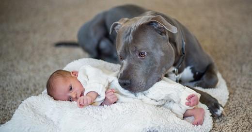 razones que muestran que los pitbulls no son malos