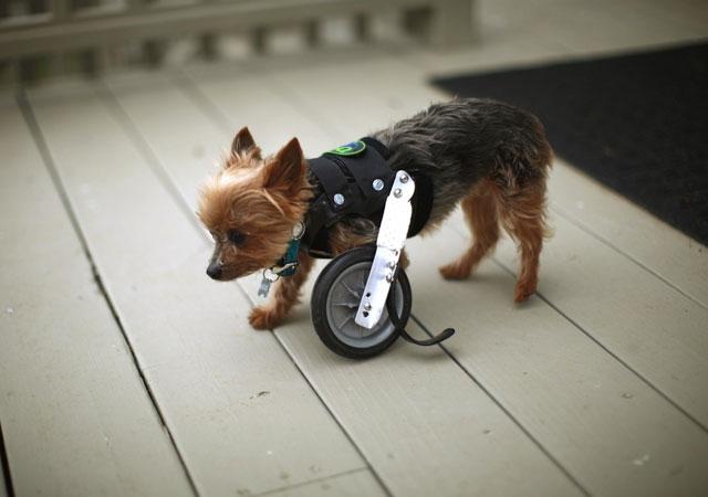 pequeño perrito con una protesis