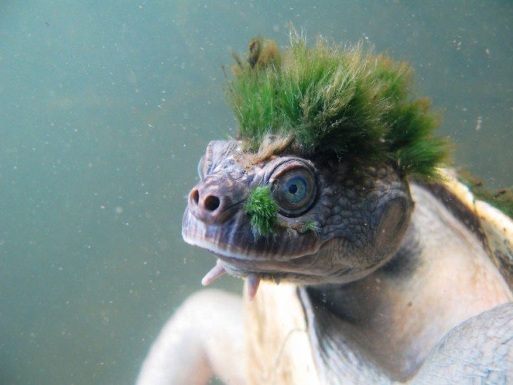 tortuga con cabello punk verde