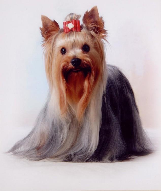 perrita raza yorkshire terrier