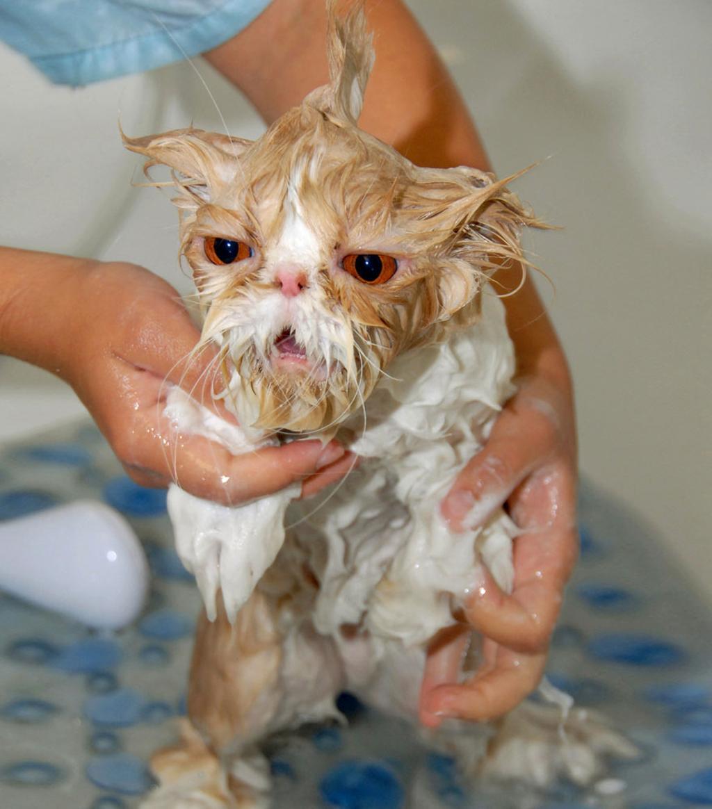 Gato mojados por sus due os que se ven muy chistosos - Cuidados gato 1 mes ...