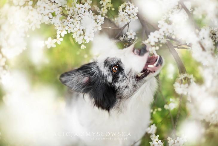 perro con orejas negras enseñando los colmillos