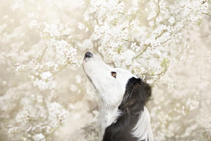 perro blanco con orejas negras oliendo flores blancas