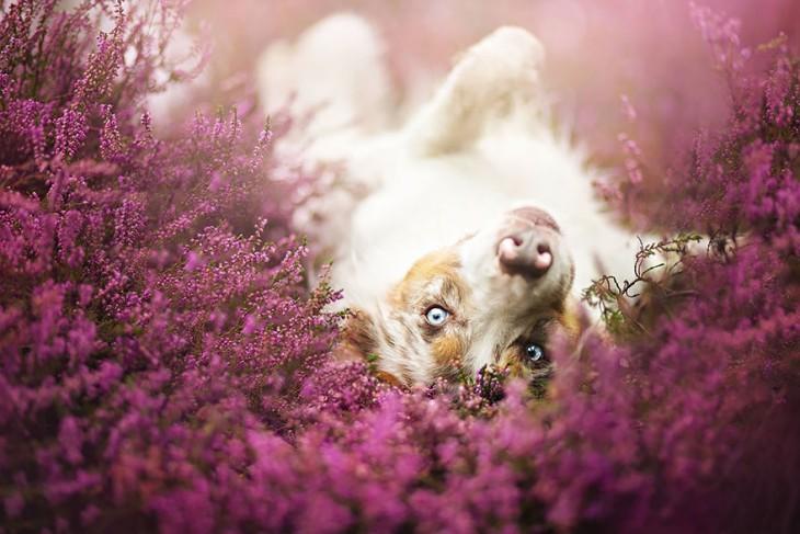 perro acostado viendo a la camara en un follaje morado