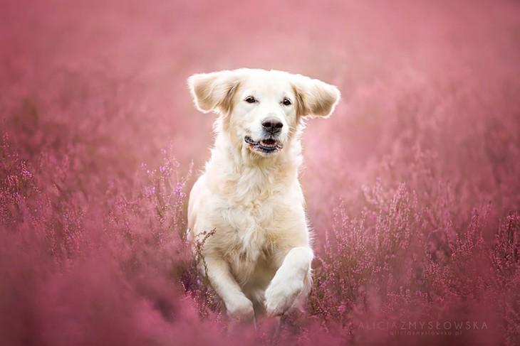 perro blanco brincando entre plantas de color rosa