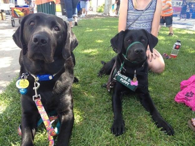 perros labradores negros recibiendo entrenamiento