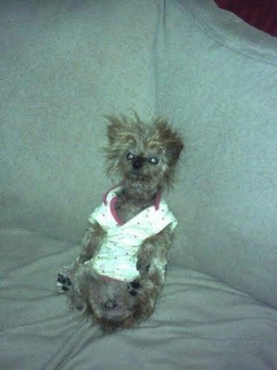 perro despeinado sentado en un sillon