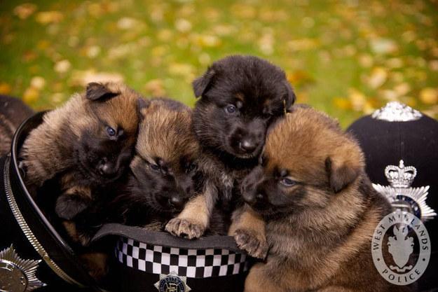 cachorros de pastor aleman arriba de un sombrero de policia