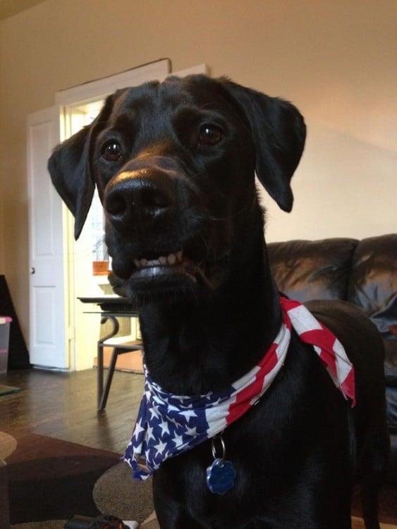 perro con paleacate de la bandera de EUA