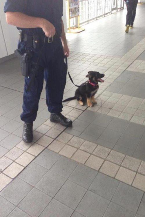 cachorro pastor aleman policia