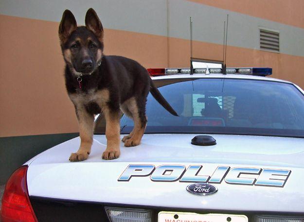 perro pastor aleman arriba de patrulla