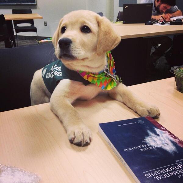 perro labrador dorado que es entrenado para ser lazarillo