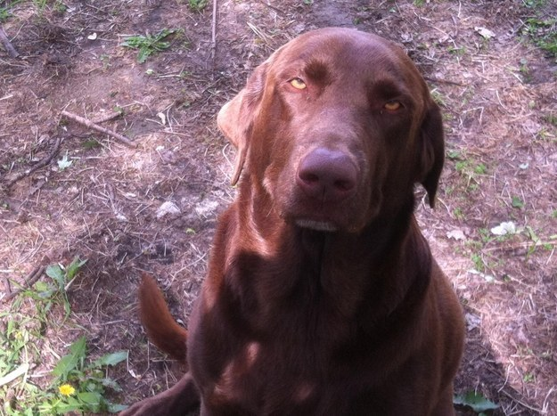 perro labrador chocolate con sueño