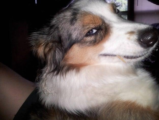 perro sonriendo de color blanco con cafe