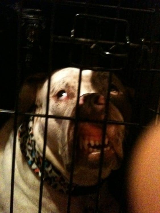 perro enseñando los colmillos encerrado en jaula