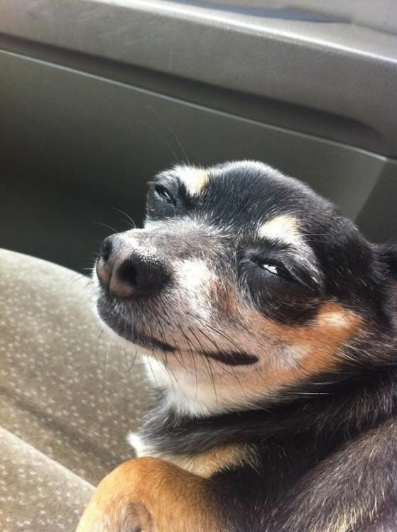 perro chihuahua con los ojos entre abiertos