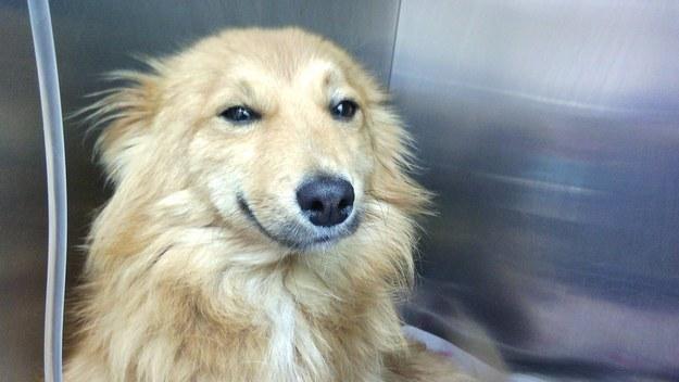 perro golden retriewer con cara de felicidad