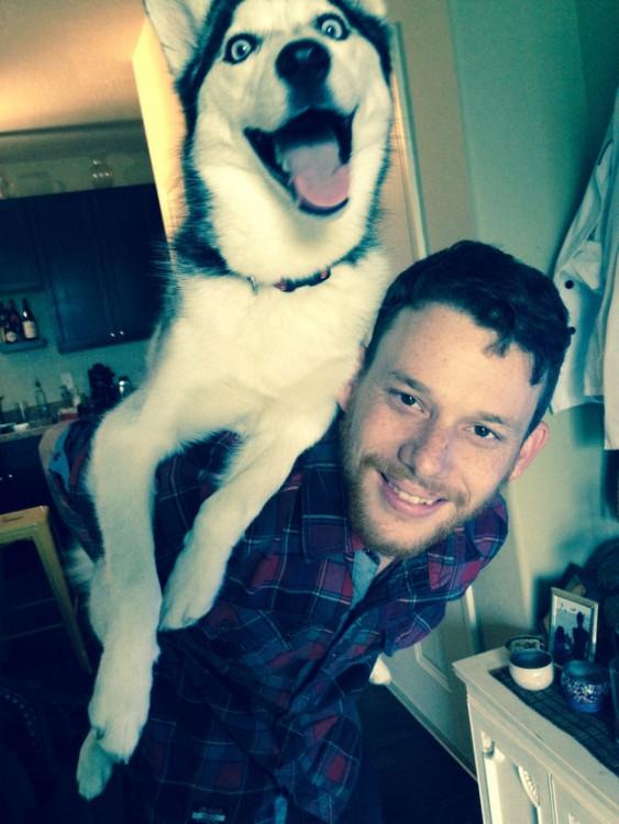 perro husky feliz sacando la lengua