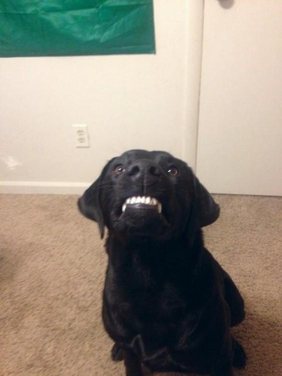perro enojado enseñando colmillos