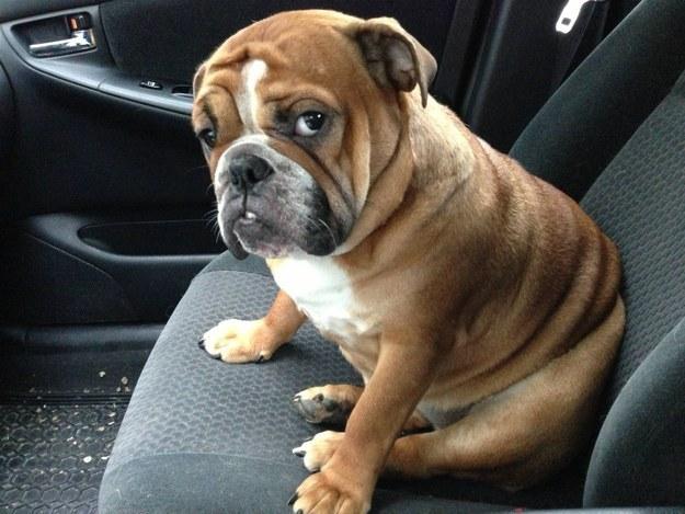 bulldog que va en el asiento del copiloto con cara de regñaado