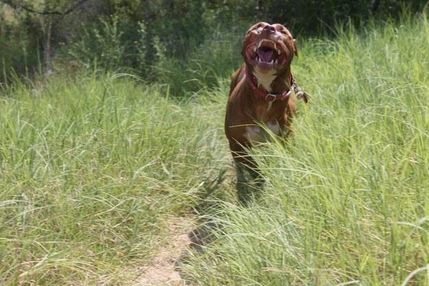 perro corriendo entre la hierba feliz