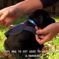 cachorro negro que se le ponen chaleco