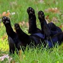 cachorro labrador negro jugando