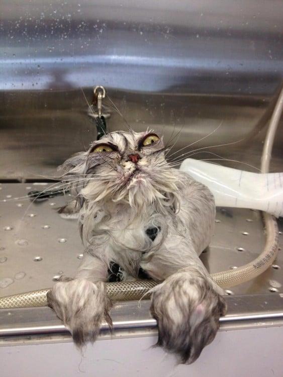 divertido gato mojado