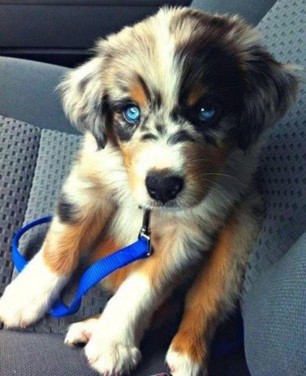 perro cruza de husky siberiano con golden retriewer