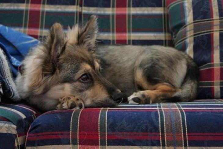 perrito de color gris acostado en un sillon