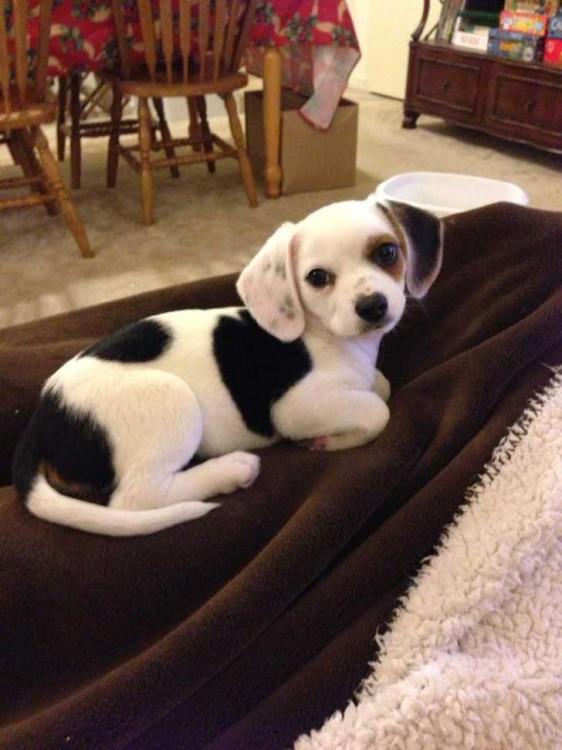 perro blanco con manchas negras raza chihuahua y beaggle