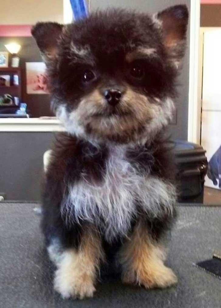 Cruzas de razas de perros que simplemente te enamoraran - Foto poile ...