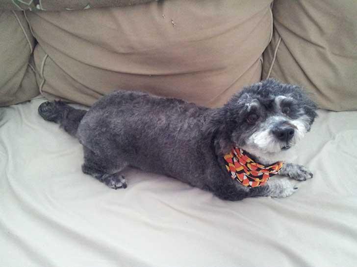 perro cruza de schnauzer y frenchpodle de color gris