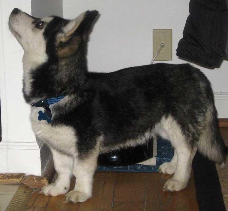 combinacion de un perro husky con un corgie