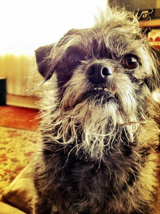 perro cruza de pug con french podle