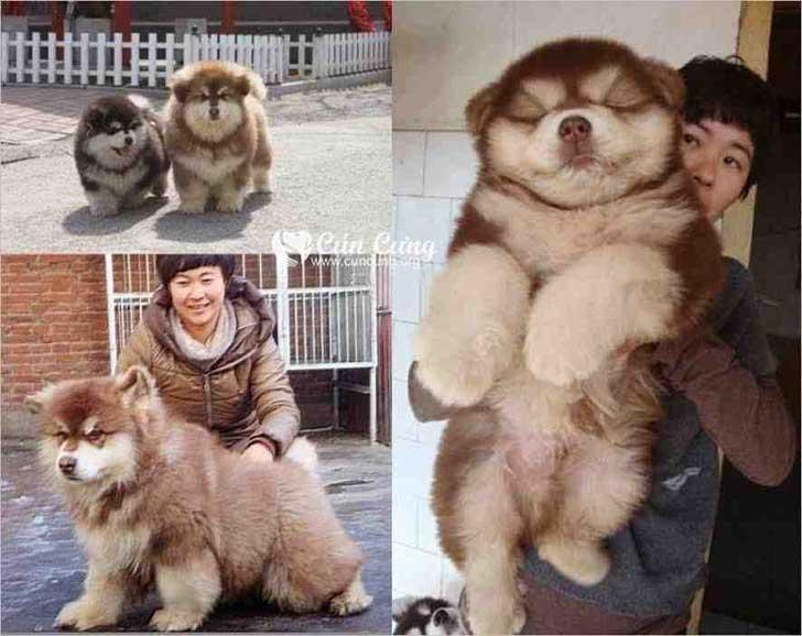 perro cruza de un husky con un perro chow chow