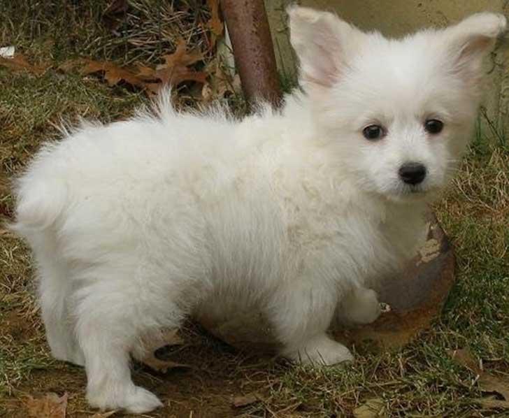 perrro blanco combinacion de corgie con poodle
